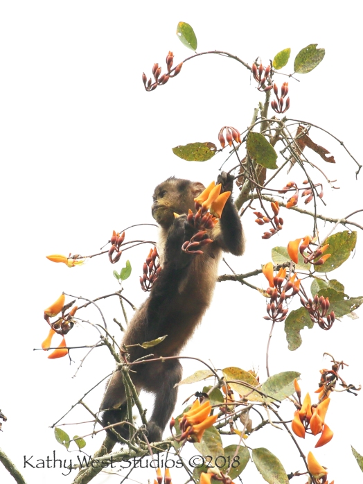 Guianan Brown Capuchin Monkey (Cebus apella), juvenile, eating Kofimama tree flowers. KathyWestStudios©2018