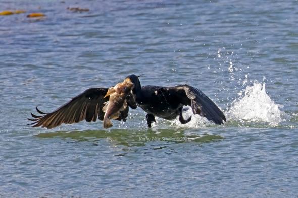 Double-crested cormorant (Phalacrocorax auritus) with large fish, Point Lobos; California