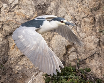 Black crowned night heron (Nycticorax nycticorax) taking stick to nest, Point Lobos, California