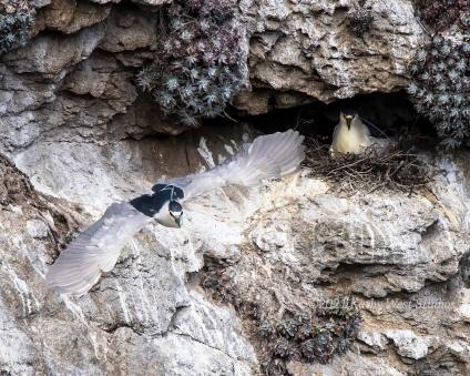 Black crowned night heron pair, Point Lobos, California