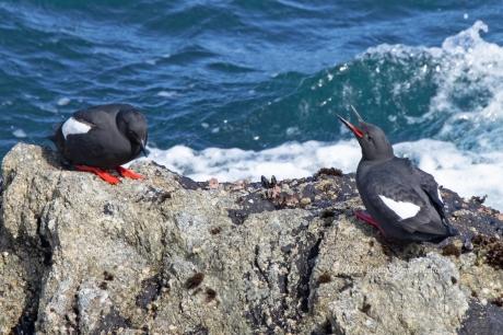 Pigeon Guillemots, Point Lobos, Calif