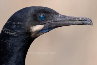 Brandt's Cormorant (Phalacrocorax penicillatus), Point Lobos, California
