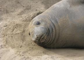 Elephant seal pup, California ©2010KathyWestStudios