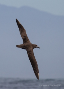 Black-footed albatross (Phoebastria nigripes), Monterey Bay. Wingspan 6–7ft. Kathy West Studios©2017