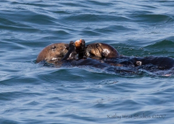 Sea Otter mom (left) passing crab to juvenile, Monterey Bay, Kathy West Studios©2017