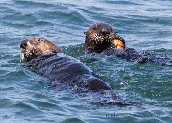 Sea Otter juvenile with pre-cracked crab from mom, Monterey Bay, Kathy West Studios©2017