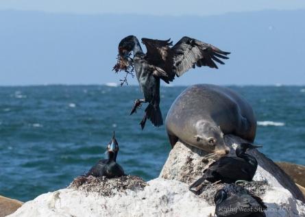 Brandt's Cormorant (Phalacrocorax penicillatus) bringing algae for nesting material, Monterey Bay