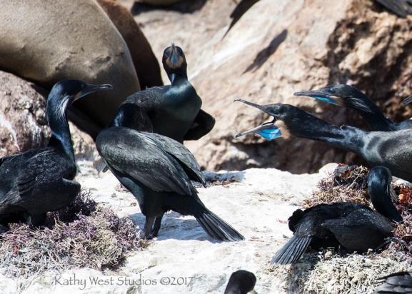 Brandt's Cormorant (Phalacrocorax penicillatus) display threats, Monterey Bay, Kathy West Studios©2017