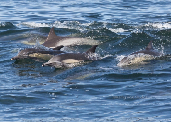 Long-beaked common dolphin (Delphinus capensis) herding fish, Monterey Bay, Kathy West Studios©2017