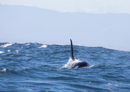 Orca whale male (Orcinus orca), Monterey Bay, Kathy West Studios©2017