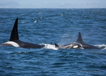 Orca whales (Orcinus orca)– male (left), his sister (far right) and her daughter (center), Monterey Bay, Kathy West Studios©2017