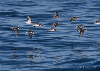 Red necked phalarope (Phalaropus lobatus), Monterey Bay, Kathy West Studios©2017