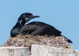 Brandt's Cormorant (Phalacrocorax penicillatus) nesting, Monterey Bay, Kathy West Studios©2017