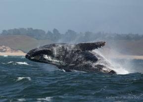 Breaching humpback, Monterey ©2017KathyWestStudios