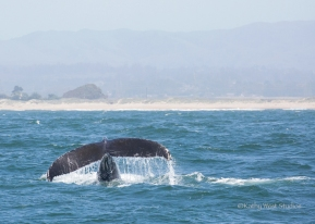 Humpback whale tail, Monterey Bay, Kathy West Studios©2017