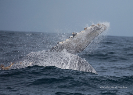 Humpback whale pectoral fin, Monterey Bay, Kathy West Studios©2017