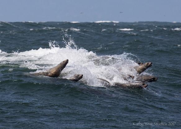 California Sea Lions, surfing, Monterey Bay, Kathy West Studios©2017