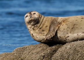 Harbor seal(Phoca vitulina) resting, Monterey Bay, Kathy West Studios©2017