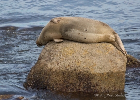 Pregnant Harbor seal(Phoca vitulina) resting, Monterey Bay, Kathy West Studios©2017