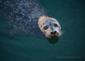 Harbor seal(Phoca vitulina), Monterey Bay, Kathy West Studios©2017