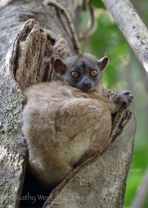 Northern Sportive Lemur ( Lepilemur septentrionalis), Ankarana NP, Madagascar. Kathy West Studios©2017
