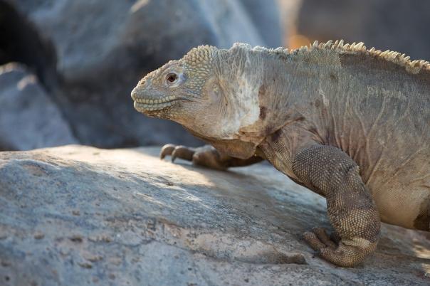 Land Iguana (Conolophus subcristatus), Galapagos Islands ©2016KathyWestStudios