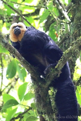White-faced saki monkey, male, Brownsberg, Suriname.