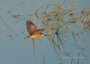 Black-crowned night heron (Nycticorax nycticorax) at Yolo Bypass Wildlife Area. ©2017 Kathy West Studios
