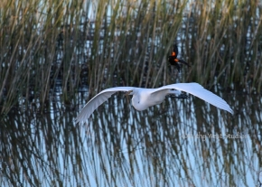 Red-winged blackbird (Agelaius phoeniceus) dive bombing a great egret (Ardea alba) at Yolo Bypass Wildlife Area. ©2017 Kathy West Studios