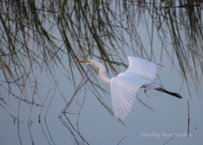 Great egret (Ardea alba) at Yolo Bypass Wildlife Area. ©2017 Kathy West Studios