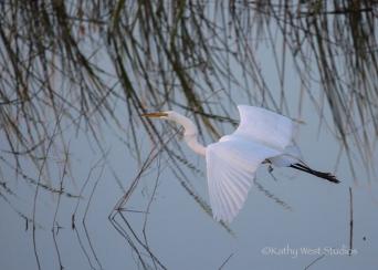 Great egret (Ardea alba) in flight, Yolo Causeway, California