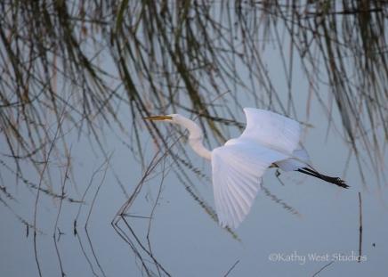 Great egret (Ardea alba) at Yolo Bypass Wildlife Area. ©2017 Kathy West Studios