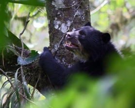 Spectacled bear finished feeding and decending tree. Cloud forest, Ecuador