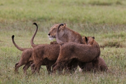 Lioness matriarch greeting cubs