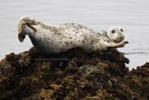 Morning Harbor seal (Phoca vitulina)