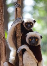 Coquerel's Sifaka, Madagascar. ©Kathy West Studios 2017