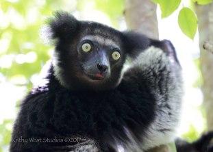 Indri indri, Madagascar. ©Kathy West Studios 2017