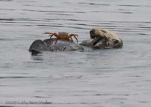 Sea otter enjoying breakfast, Monterey Bay, California. ©Kathy West Studios 2018