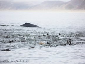 Humpback whale and California sea lions feeding on anchovies, Monterey Bay, California. ©Kathy West Studios 2018