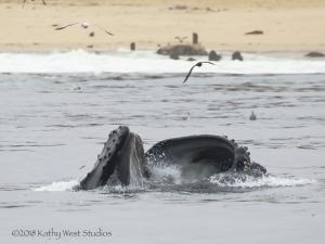 Humpback whale feeding on anchovies, Monterey Bay, California. ©Kathy West Studios 2018