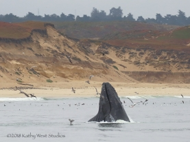 Lunge feeding humpback off Monterey Bay bluffs with fall colors ©KathyWestStudios