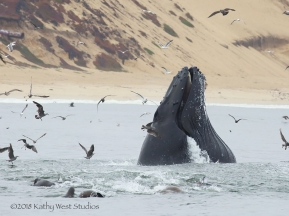 Humpback whale feeding on anchovies, Monterey Bay, California. ©Kathy West Studios 2018