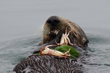 Southern sea otter (Enhydra lutris), Monterey Bay, California. ©Kathy West Studios 2018 2020 NANPA Showcase Top 250