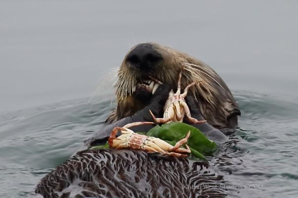 Southern sea otter (Enhydra lutris), Monterey Bay, California. ©Kathy West Studios 2018