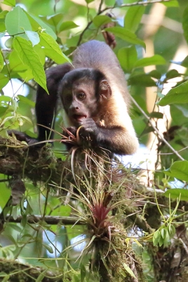 Guinan Brown Capuchin Monkey (Cebus apella), juvenile feeding on bromeliads. . ©Kathy West Studios 2018