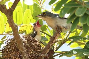 Hooded Tanager (Nemosia pileata), Suriname. ©Kathy West Studios 2018