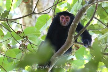 Red faced spider monkey (Ateles paniscus). . ©Kathy West Studios 2018