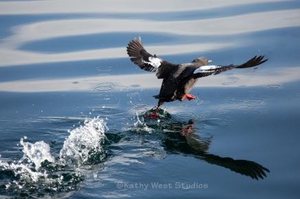 Surf Scoter(Melanitta perspicillata) awkward takeoff. Monterey Bay, Calif. ©Kathy West Studios