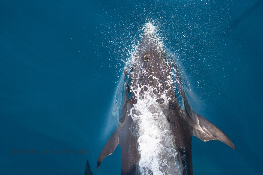Northern Right Whale Dolphin (Lissodelphis borealis), Monterey. KathyWestStudios_©2019_KWS_3884