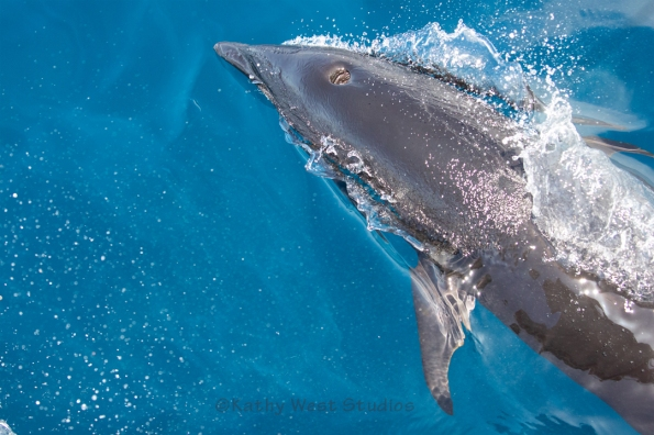 Northern Right Whale Dolphin (Lissodelphis borealis), Monterey. KathyWestStudios_©2019